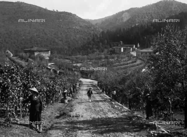 San Regolo (Siena). Horizontal laid out vineyard in the estate of Baron Ricasoli Firidolfi