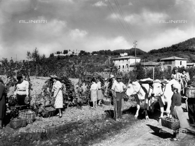 Peasants harvesting grapes in the fields adjacent to Baron Giovanni Ricasoli Firidolfi's castle, in Brolio, in the province of Siena
