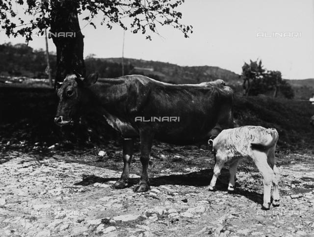 A cow suckling her calf in the countryside surrounding Villa La Fonte.