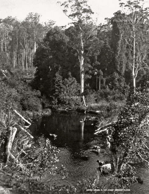 Enchanting view of a dense woods in Australia. In the foreground, a few cows are drinking at a small river pool