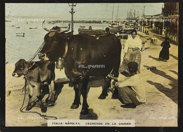A milkman with a cow and a calf along the streets of Naples