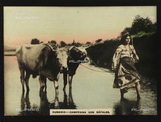 A Romanian peasant in traditional costumes with two cows while crossing a river