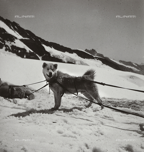 A polar dog, Switzerland