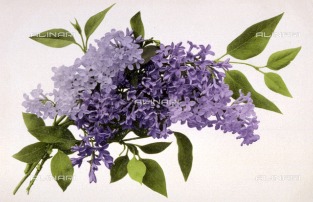 Close-up of a small branch of flowering lilac on a white ground