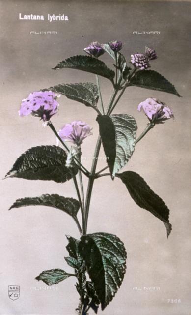 Small flowering wayfaring-tree branch