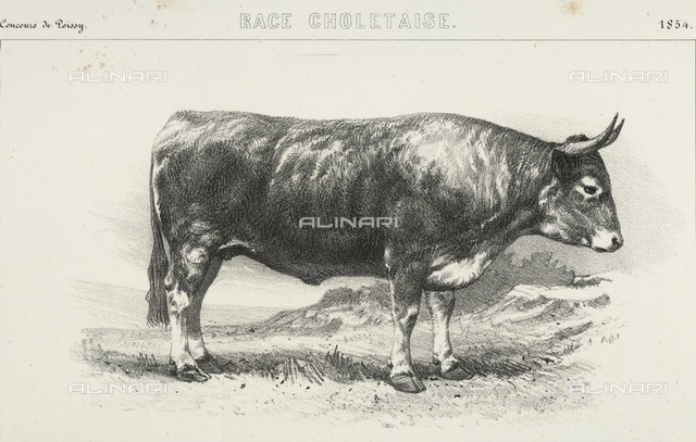 "Drawing from a daguerreotype depicting a five-year-old ""Choletais"" breed ox, first prize winner at the Poissy competition"