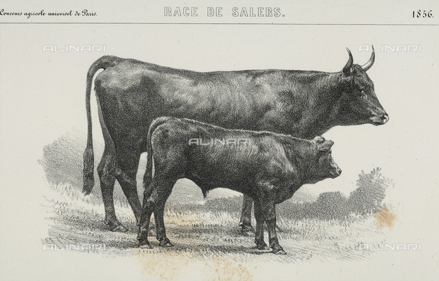 """A forty eight month old """"Salers"""" cow with calf, winner of first prize at the world's agricultural fair of Paris"""