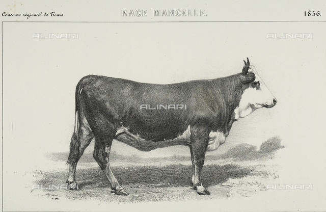 """A twenty month old """"Mancelle"""" cow, winner of first prize at the regional agricultural fair of Tours"""