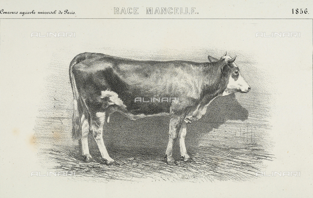 """A thirty month old """"Mancelle"""" cow, winner of first prize at the world's agricultural fair of Paris"""