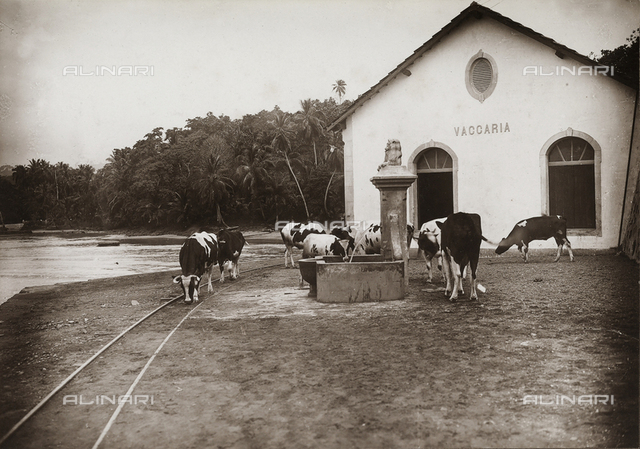 Herd of cows outside a stall on the coast of Agua-izè, locality of the island of Sao Tomè, west side of Africa