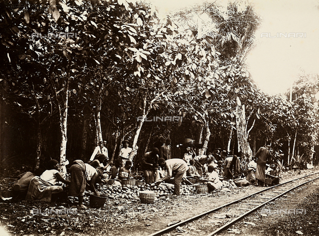 A group of African workers cutting cocoa fruits on a plantation in Agua-izè, island of Sao Tomè, west side of Africa