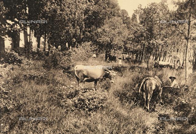 """""""Ville Sbertoli,"""" a sanatorium for the treatment of nervous disorders in Collegigliato; cows grazing in the pine grove"""