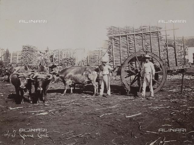 'Antilles': carts full of sugar cane