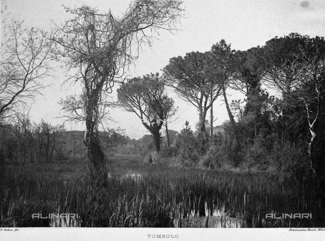 The pine tree wood in Tombolo: large umbrella shaped pines stand among the low acquatic vegetation