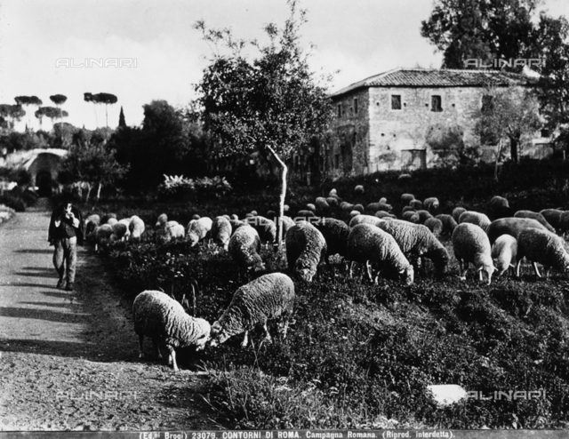 A shepherd takes his flock of sheep out to pasture, in the countryside surrounding Rome.