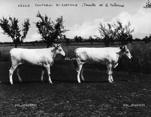 Cortona (environs). Estate of S. Caterina. Heifers of Chianina breed