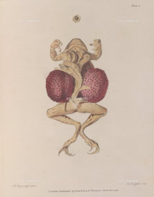 Frog, from 'A Collection of Engravings' of Thomas Denman, Rymsdyk C Knoght (E. Cox & Son: London, 1815), 779.k.14, plate II, British Library, London