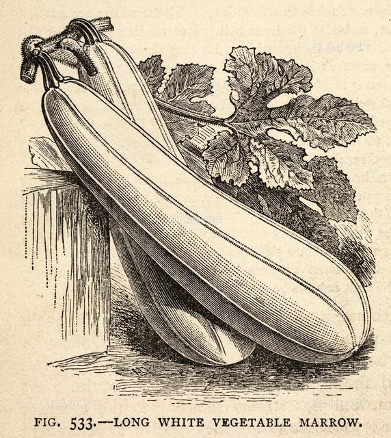 Marrow, from 'The Book of Garden Management and Rural Economy' (Ward, Lock & Co.: London, 1885, 86.), 7031.v.4, p.612 fig.533, British Library, London