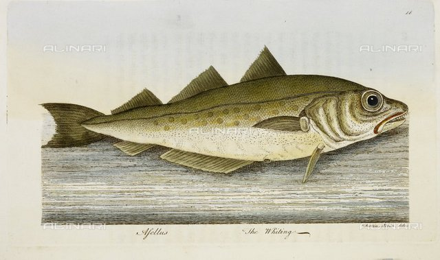 The Whiting, from 'A treatise on fish and fish-ponds, by The Hon. Roger North. Illustrated with eighteen beautifully-coloured specimens, by Ebenezer Albin' (London : published by J. Goodwin, [1825?] W. Lewis [Printer]), RB.31.c.551 facing p91, British Library, London
