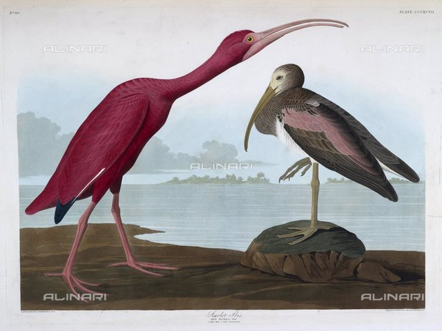 Two birds. Colour Illustration, Scarlet Ibis, from 'The Birds of America' by John James Audubon (London, 1827-38), N.L.TAB.2.(4) plate 397, British Library, London
