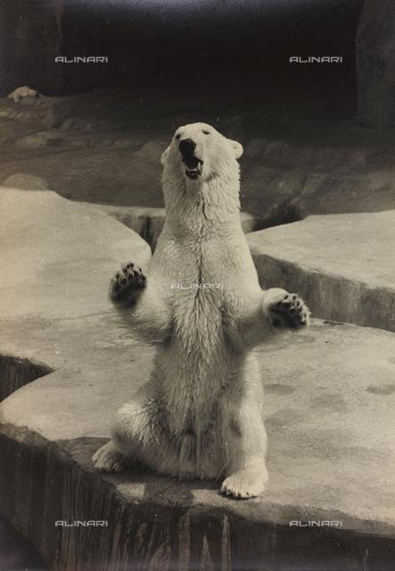 "Album ""Parigi (giugno-luglio 1936)"": polar bear in a zoo in Paris"