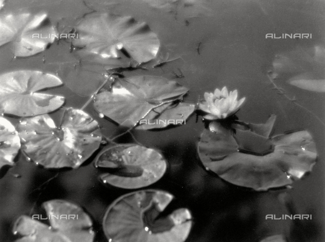 Water-lilies on a mirrored surface of water. Beads of water are visible on the leaves, which reflect the sun's rays.