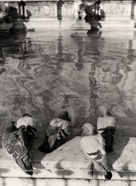 Pigeons on the edge of the Gaia fountain in Siena