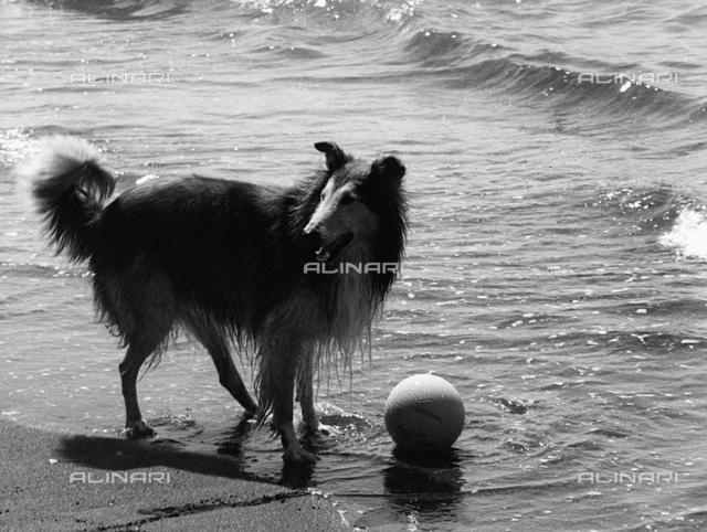 A collie on the beach