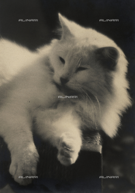 Persian cat dozing on a chair. Postcard sent by the author to Vincenzo Balocchi