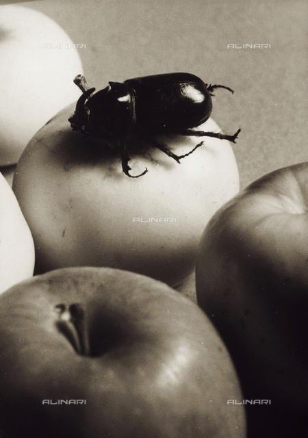 A coleoptera on an apple. Postcard sent by the photographer to Vincenzo Balocchi
