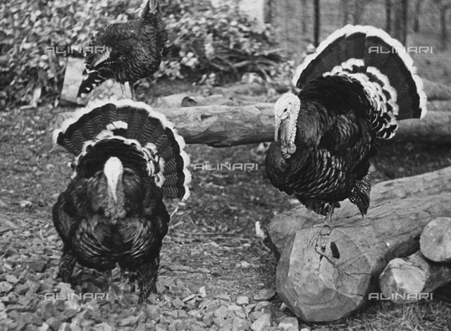 Two turkeys in the barnyard