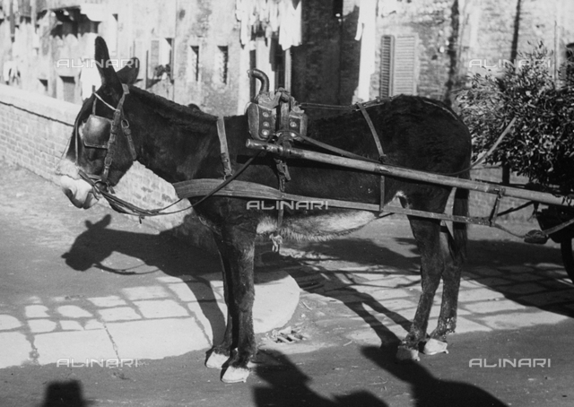 Mule attached on a cart