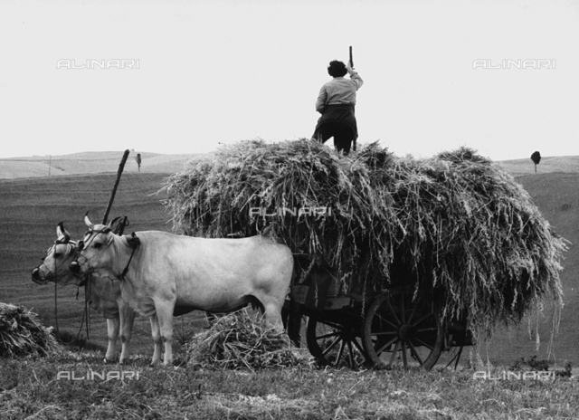 Wagon full of hay in Santa Luce
