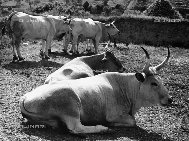 Maremma cows in Sant'Antimo