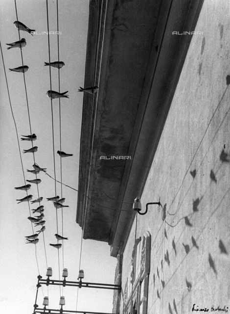 Swallows resting on electrical lines