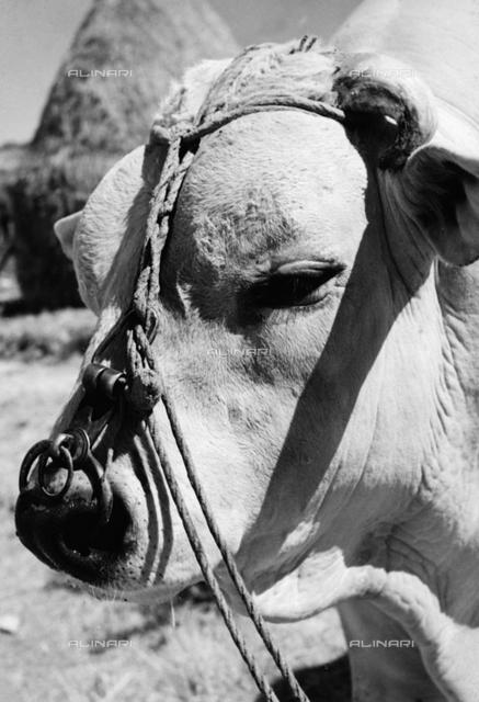 Head of a calf