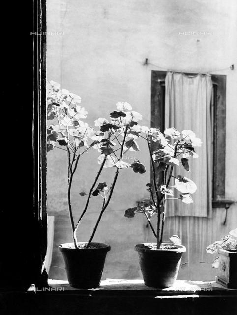 'Signor Tito's Geraniums'