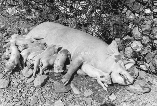 Sow feeding her piglets