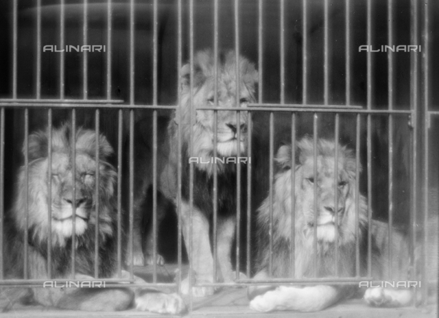 The Circus at Campo di Marte, Florence: caged lions; Photo studio