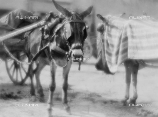 Donkeys; photo studio