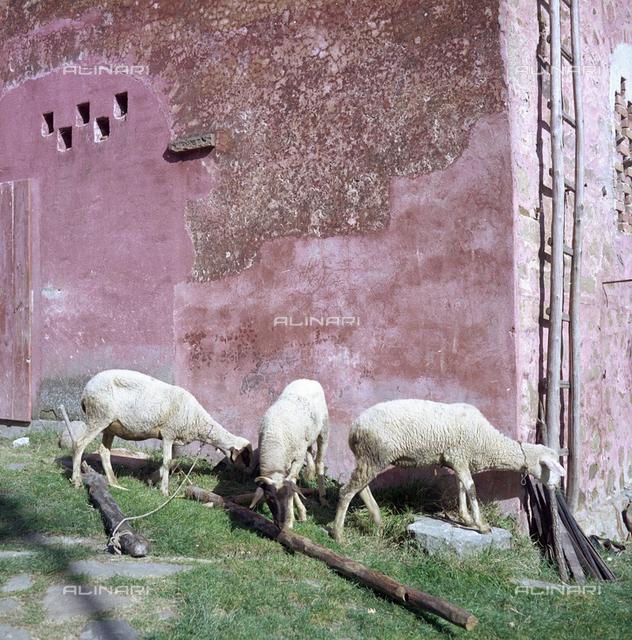 Lambs, San Polo in Chianti