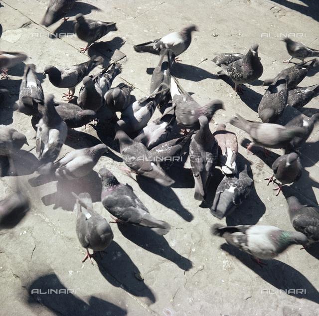 Pigeons, Piazza della Signoria, Florence