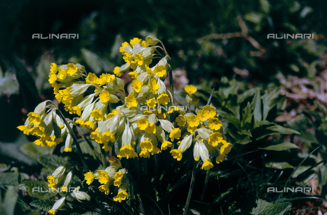 Flowering mountain primulus