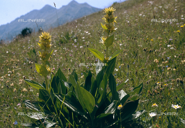 Genziana Lutea in flower, commonly known as greater gentian