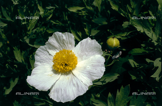 Close-up of a Cistus flower