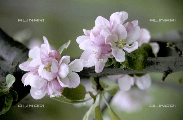 Close-up f apple blossoms