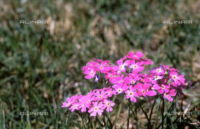 Detail of a field with Primula Farinosa (Birdseye Primrose)
