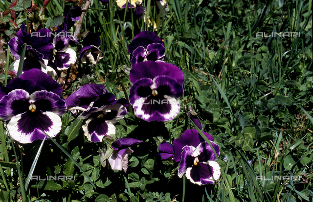 Tri-colored Violets, commonly known as Pansies