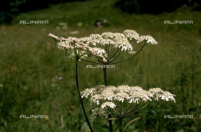 Field with Achillea Millefolium flowers
