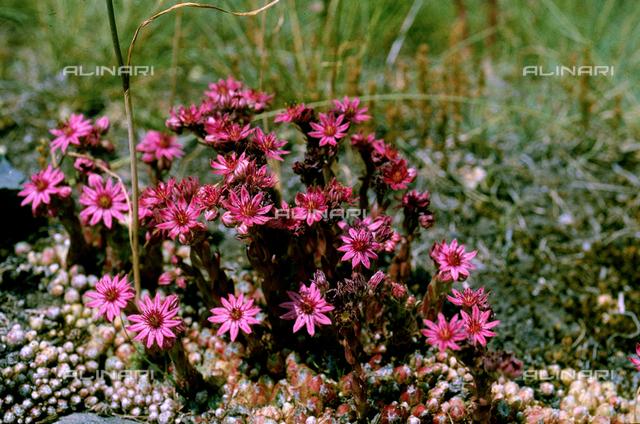 Sempervivum Montanum flowers